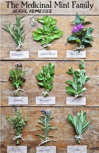 medicinal-mint-family